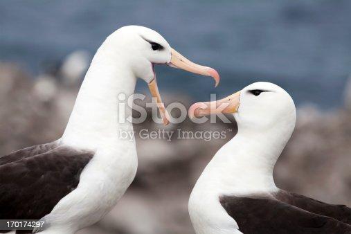 Black-Browed Albatross (Thalassarche melanophrys) pair, Falkland Islands.