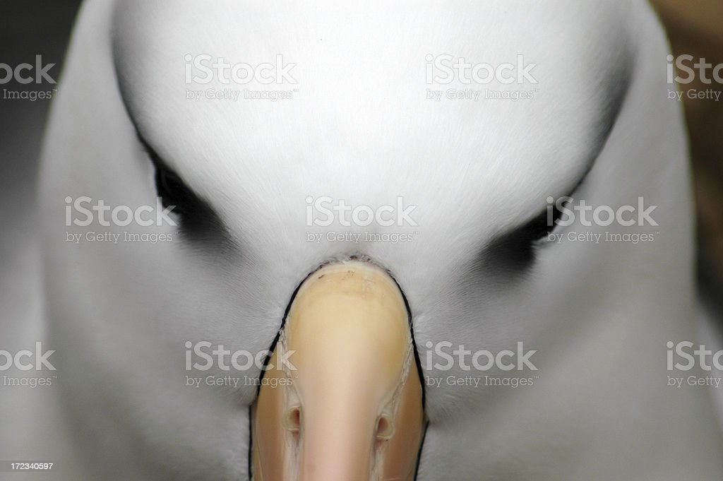 Blackbrowed Albatross royalty-free stock photo