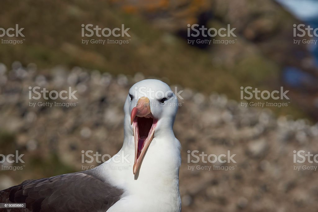 Schwarzbrauen-Albatros (moloch-god melanophrys) – Foto
