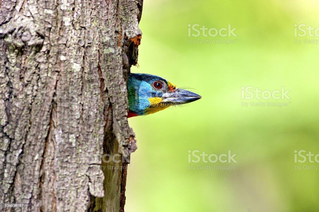 Black-browed Barbet a bird stock photo