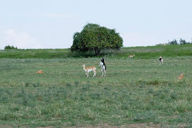 Blackbuck antelope mating ritual dance