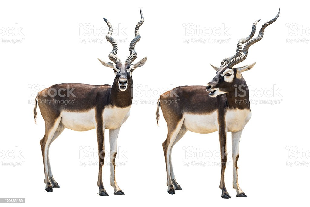 Blackbuck stock photo