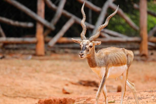 blackbuck blackbuck axis deer stock pictures, royalty-free photos & images