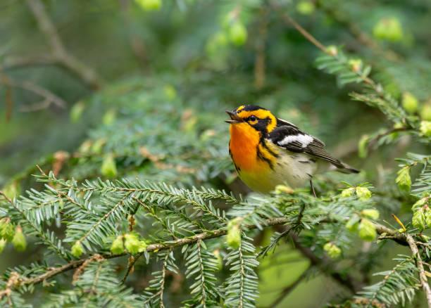 blackburnian warbler - amerikaanse zangers stockfoto's en -beelden