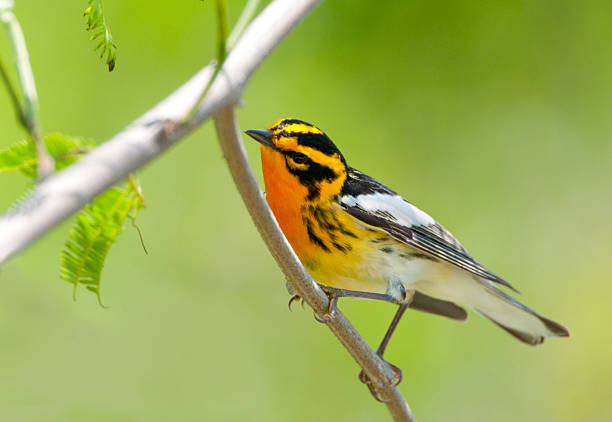 blackburnian warbler - south texas - amerikaanse zangers stockfoto's en -beelden