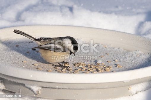 The black-capped chickadee is a small, nonmigratory, North American songbird that lives in deciduous and mixed forests. It is a passerine bird in the tit family, the Paridae. It is the state bird of Massachusetts and Maine in the United States, and the provincial bird of New Brunswick in Canada.