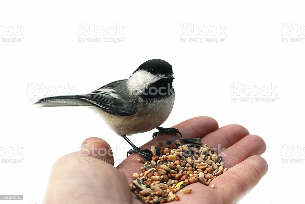 Black-capped Chickadee eating seeds on a stretched hand stock photo