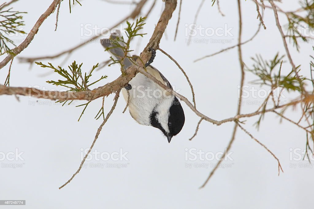 Black-capped Chickadee Hanging Upside Down stock photo