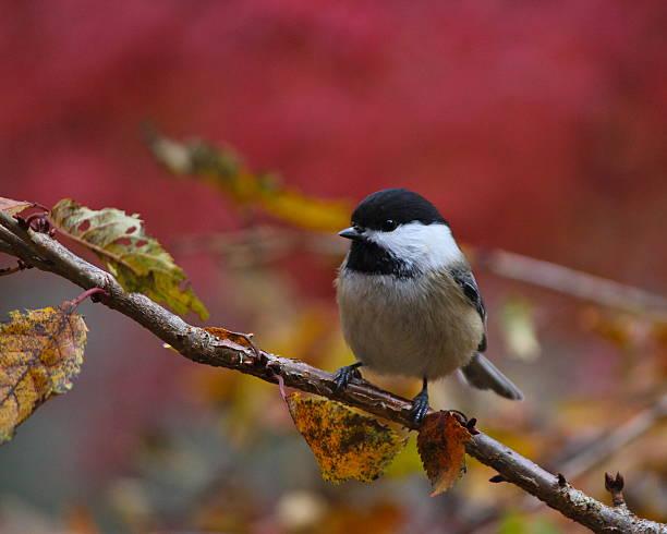 black-capped chickadee in fall - vogel herfst stockfoto's en -beelden