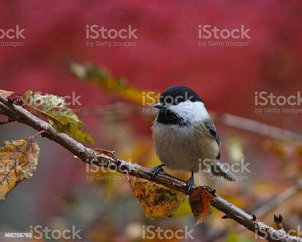 Photo of Black-capped Chickadee in Fall