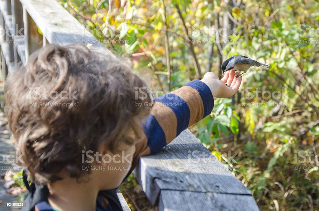 Black-capped Chickadee in little boy's hand stock photo