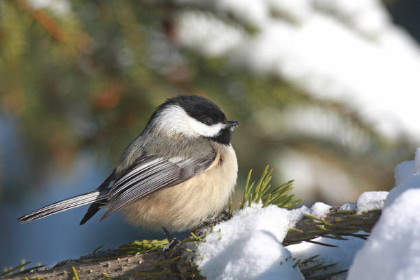 Black-capped Chickadee in Snow A fluffy Black-capped Chickadee rests on a snow bank chickadee stock pictures, royalty-free photos & images