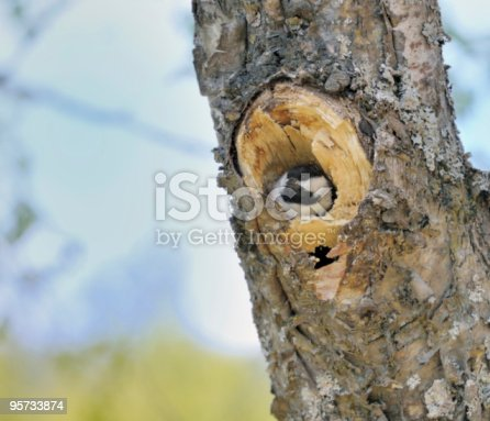 A Black-capped Chickadee ( Poecile atricapillus ) in its cavity nest. It mustbe spring in Alaska as this migrant has return to breed.
