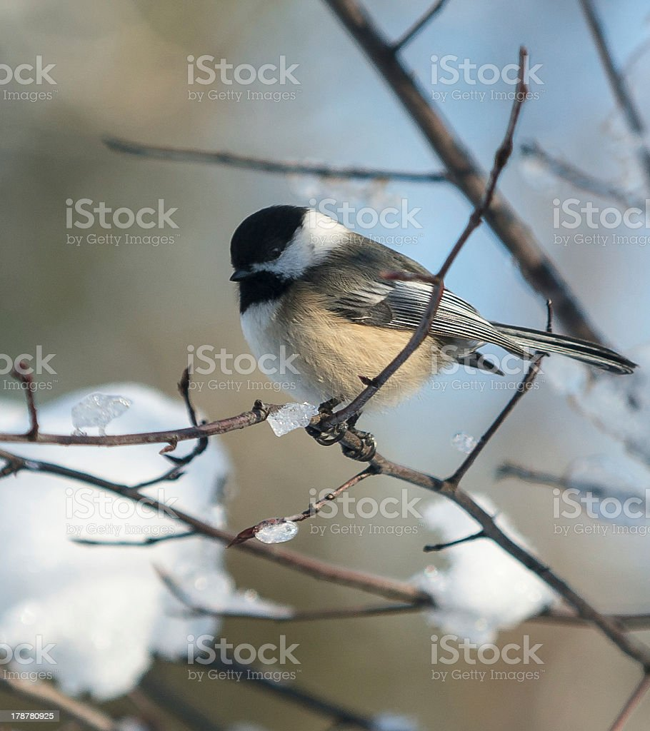 Black-Capped Chickadee  in Winter royalty-free stock photo