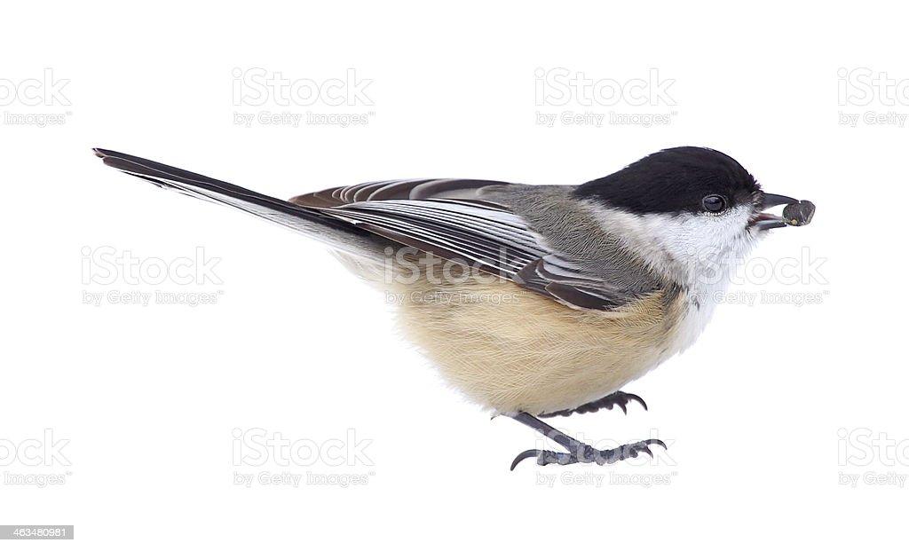 Black-capped Chickadee Isolated stock photo