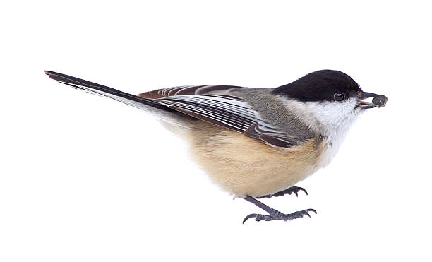 Black-capped Chickadee Isolated Black-capped chickadee, Poecile atricapilla, with a seed in its beak isolated on white chickadee stock pictures, royalty-free photos & images