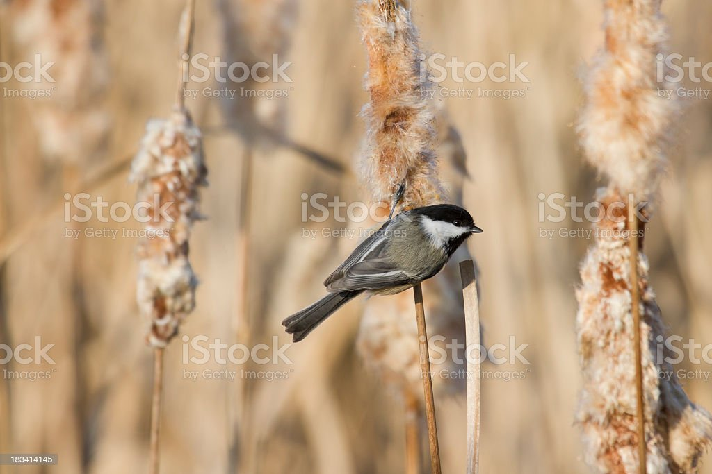 Black-capped Chickadee (Poecile atricapilla) On Cattails stock photo
