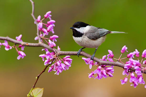 Black-capped Chickadee on Redbud Black-capped Chickadee (Poecile atricapillus) perching on a Redbud Tree chickadee stock pictures, royalty-free photos & images