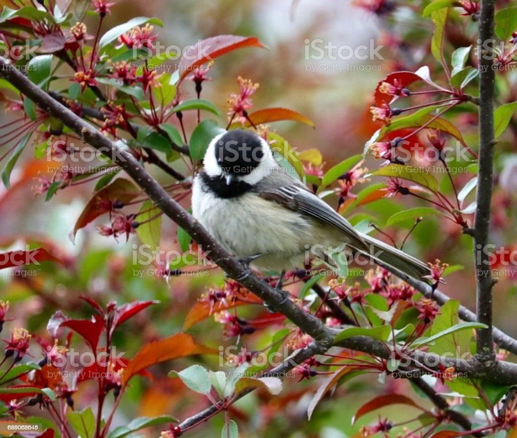 Black-capped Chickadee on Tree Branch Looking Down Singing stock photo