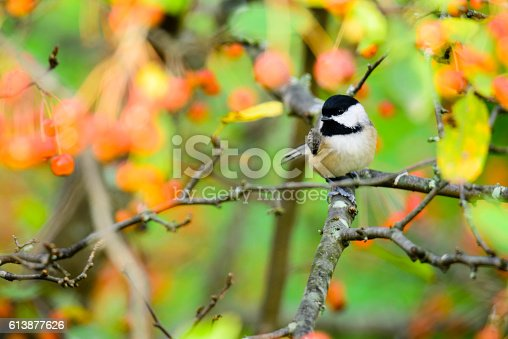 Black-capped Chickadee (Poecile atricapillus) perched in a fruit tree full of orange berries.