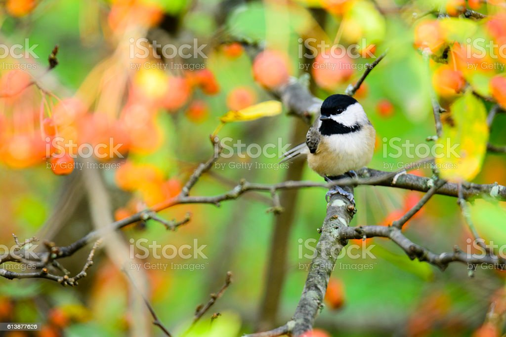 Black-capped Chickadee (Poecile atricapillus) perched in a fruit stock photo