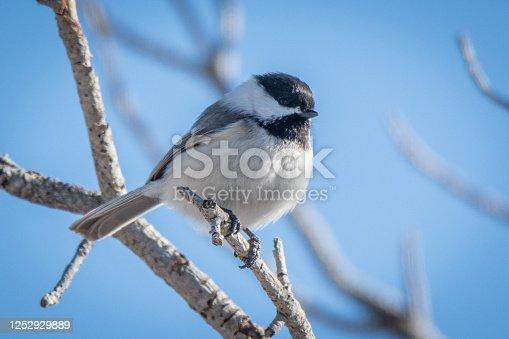 Cute Black-capped Chickadee