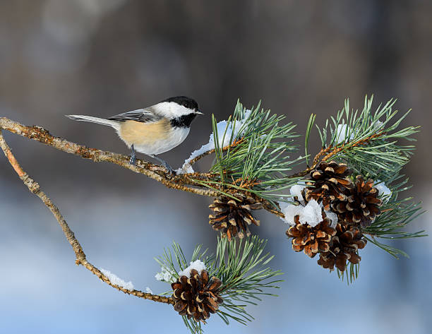 Black-Capped Chickadee Perched on Pie Tree Branch with Cones Black-Capped Chickadee Perched on Pie Tree Branch with Cones in Winter chickadee stock pictures, royalty-free photos & images
