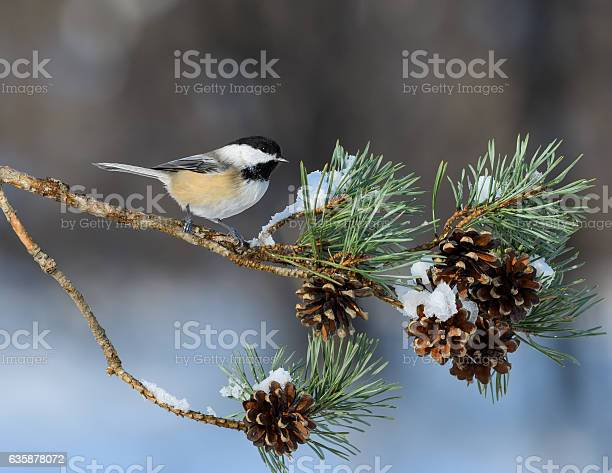 Photo of Black-Capped Chickadee Perched on Pie Tree Branch with Cones