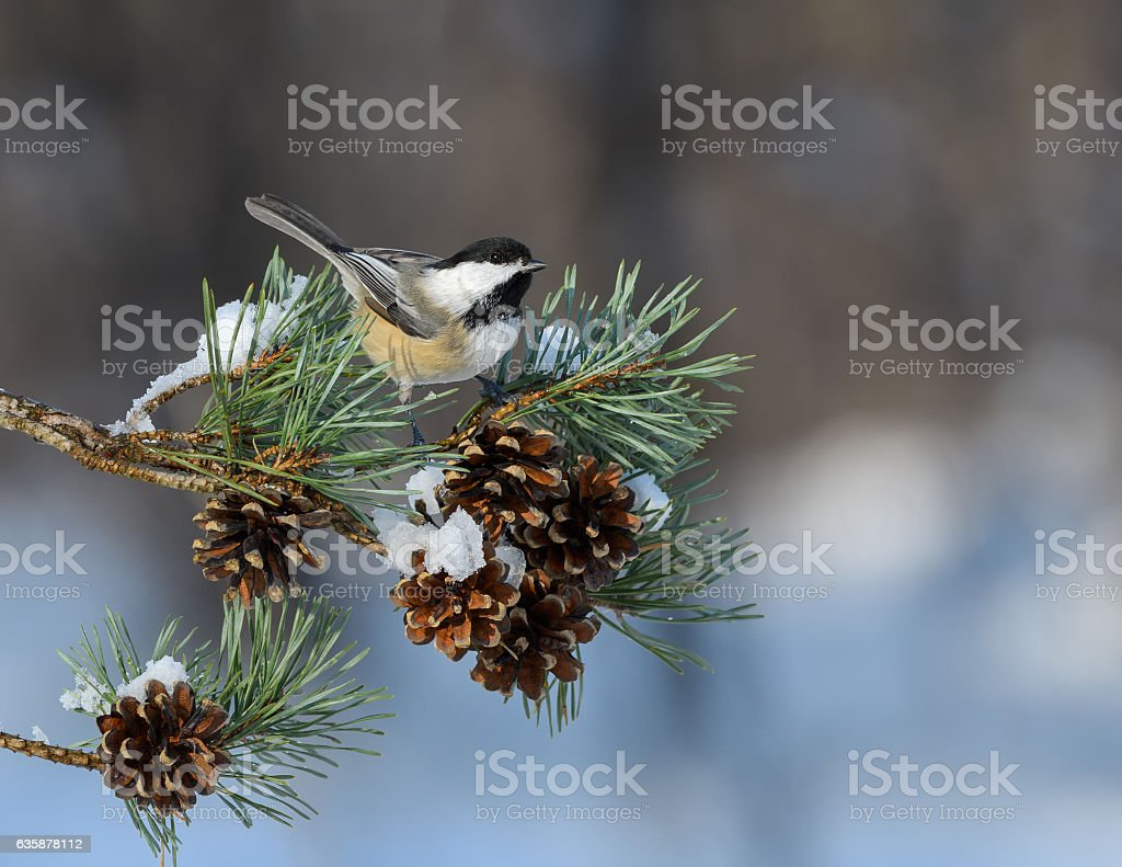 Black-Capped Chickadee Perched on Pie Tree Branch with Cones stock photo