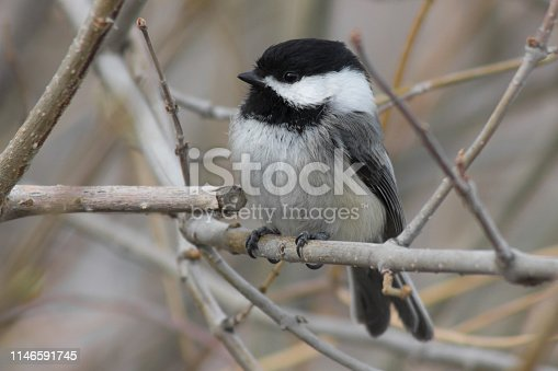 Black-capped Chickadee sitting on a white fence