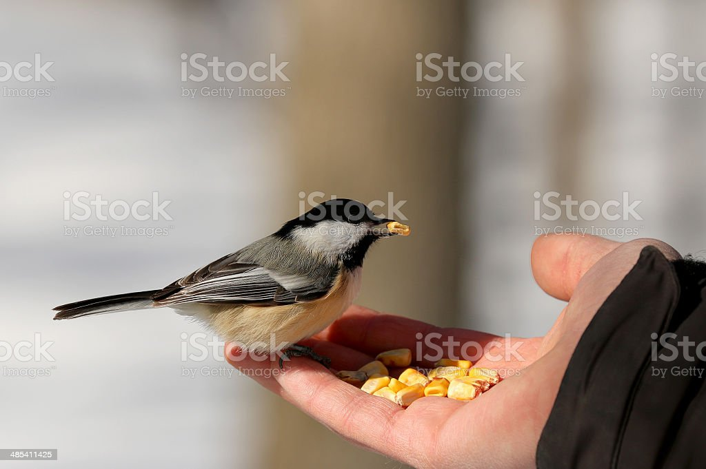 Black-capped Chickadee (Poecile atricapillus) royalty-free stock photo