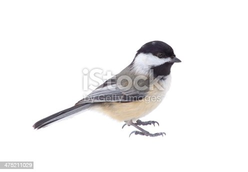 Black-capped cickadee, Poecile atricapilla, isolated on white