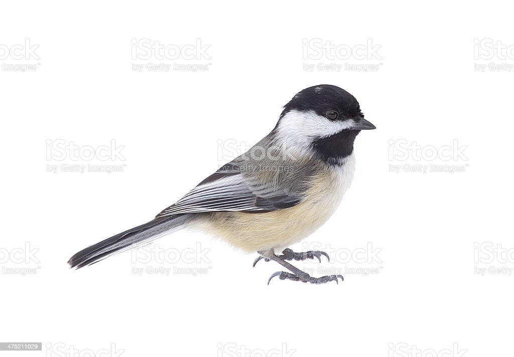 Black-capped Chickadee, Poecile atricapilla, Isolated stock photo