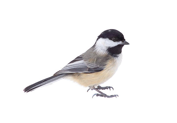 Black-capped Chickadee, Poecile atricapilla, Isolated Black-capped cickadee, Poecile atricapilla, isolated on white chickadee stock pictures, royalty-free photos & images