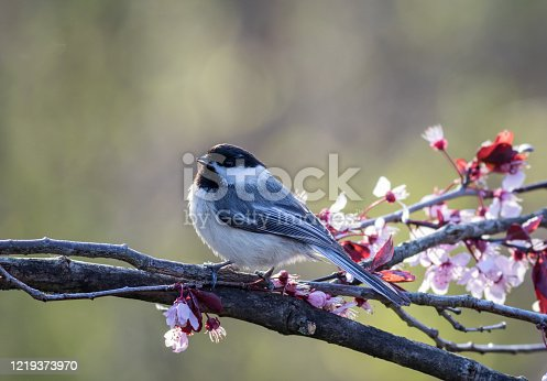 Beautiful songbird perched on a pink flowering plum tree in spring.  Backyard birding, nature.