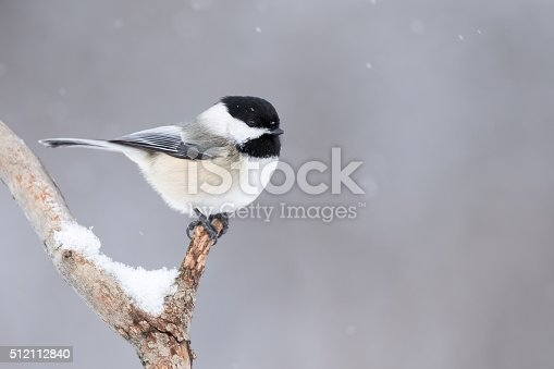 Black-capped Chickadee, Poecile Atricapillus, perched on branch in light snowfall and making eye contact