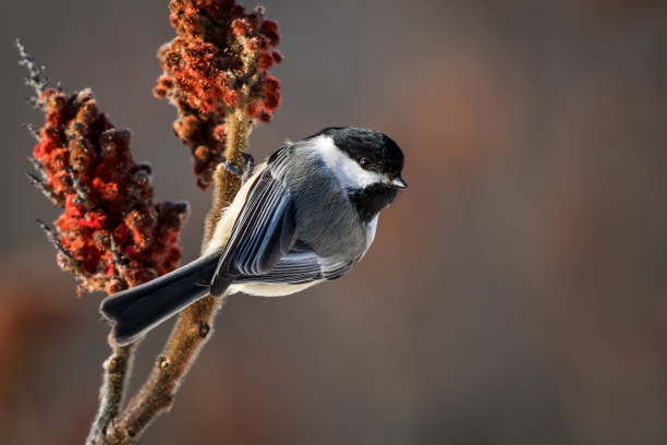 Black-capped Chickadee - Poecile atricapillus Black-capped Chickadee - Poecile atricapillus, perch on a Sumac tree.  Bokeh of Sumac in the background. chickadee stock pictures, royalty-free photos & images