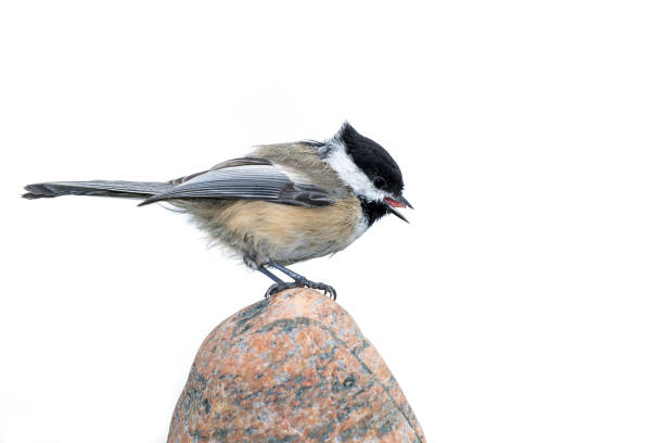 Black-capped Chickadee - Poecile atricapillus Black-capped Chickadee - Poecile atricapillus, issolated high-key white background.  Chickadee perched on a rock, bill open and tongue showing. chickadee stock pictures, royalty-free photos & images