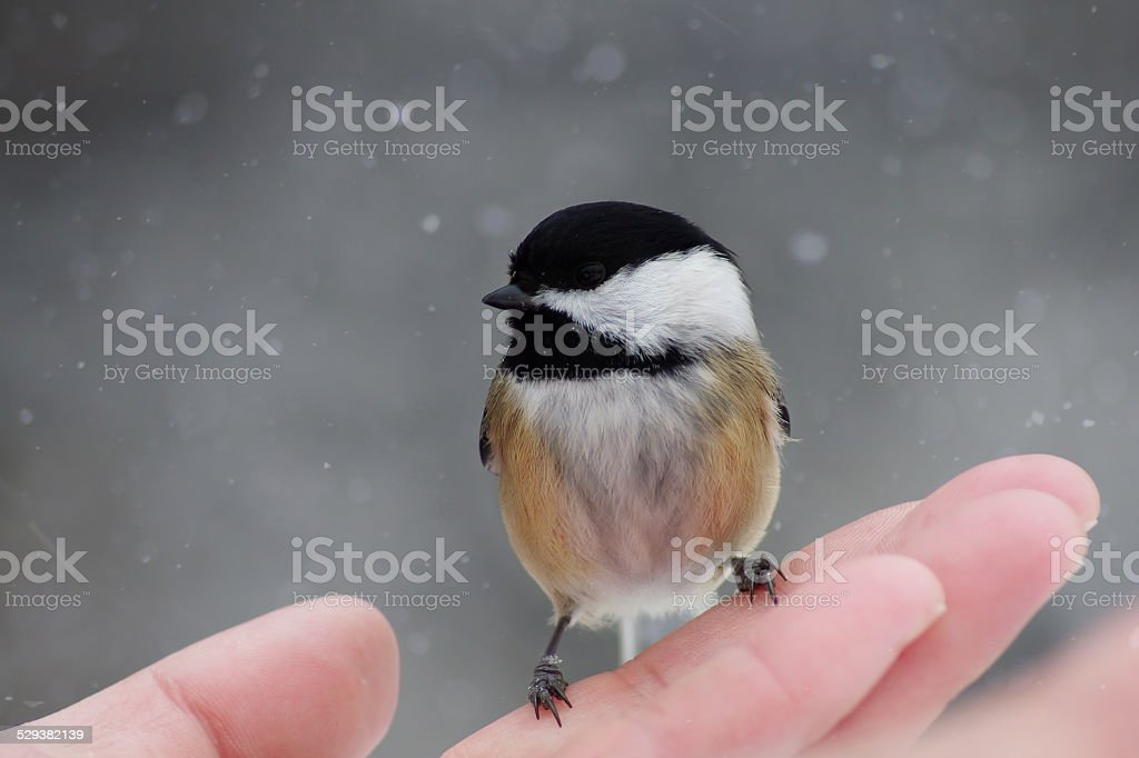 Black-capped Chickadee, winter snowing background stock photo