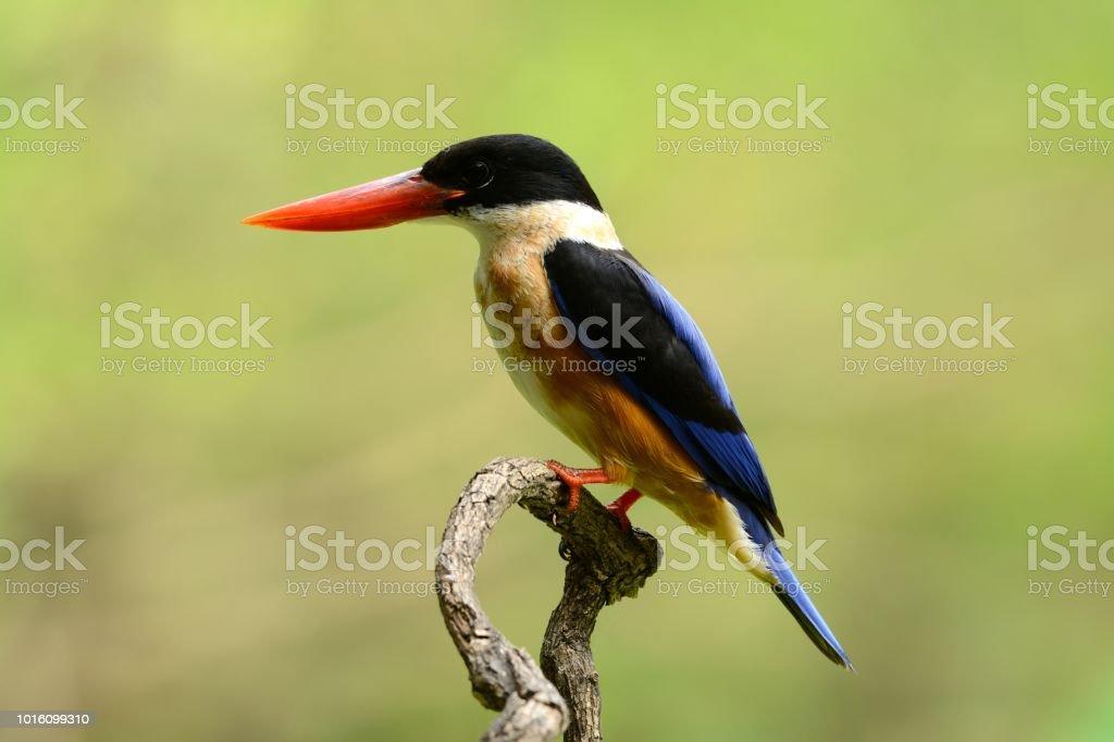 Black-capped Kingfisher(Halcyon pileata) stock photo