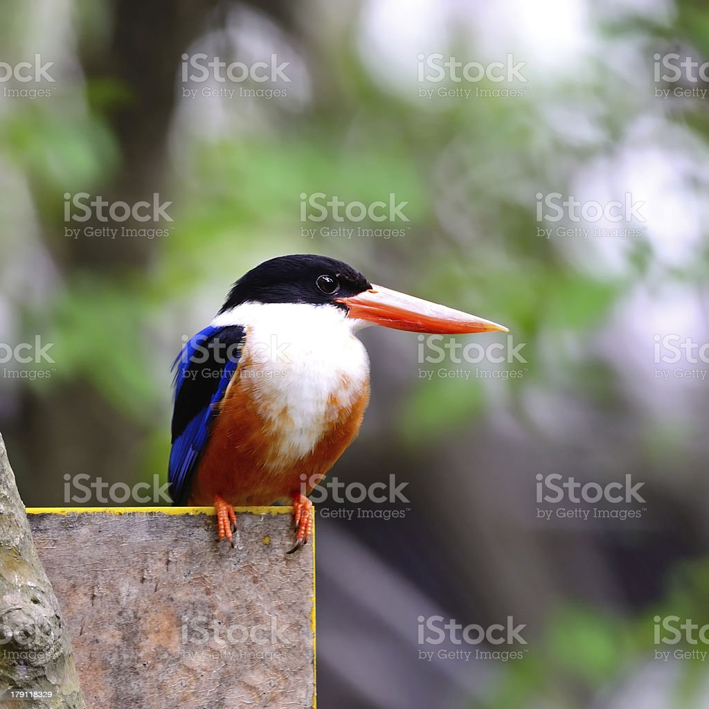 Black-capped Kingfisher royalty-free stock photo