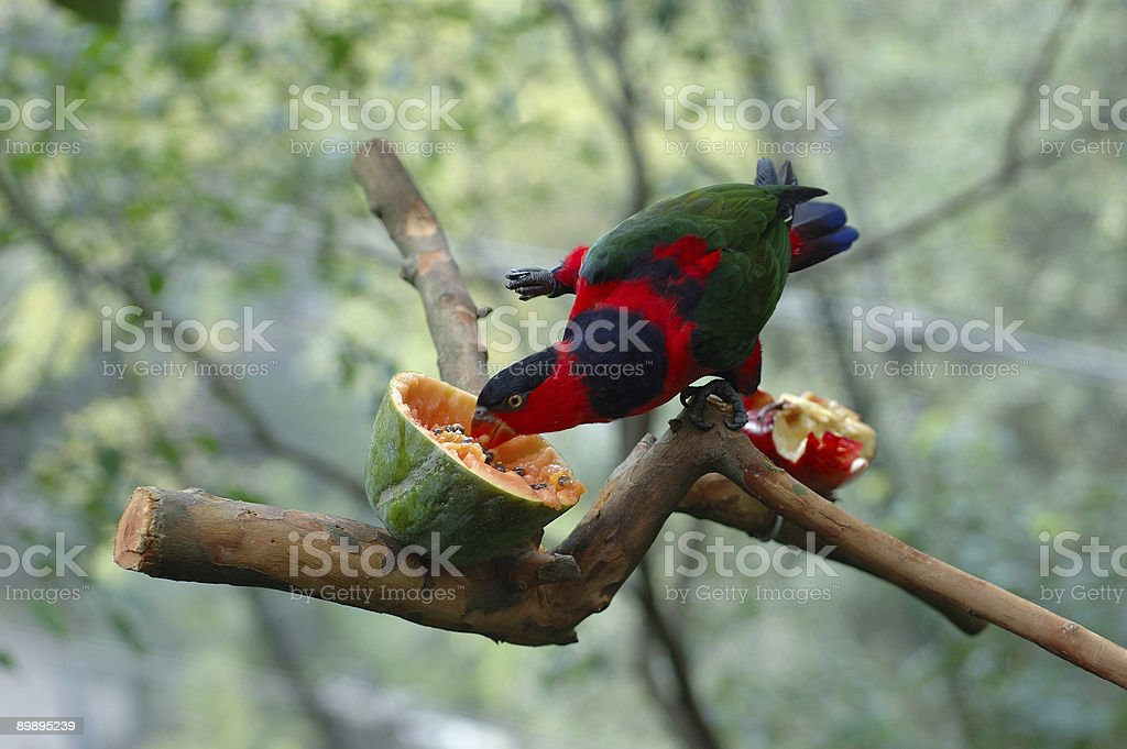 Black-capped lory royalty-free stock photo