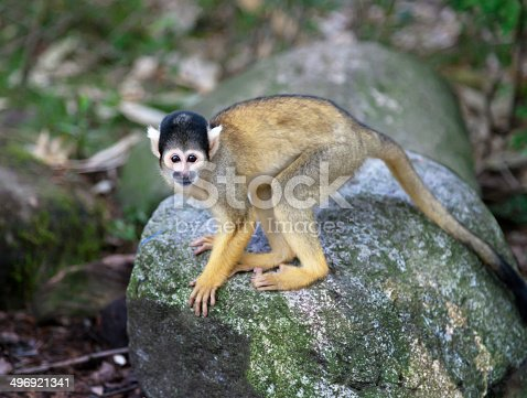 Black-capped squirrel monkey in nature