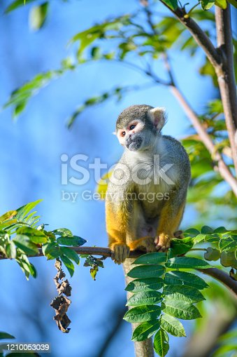 Black-capped squirrel monkey (Saimiri boliviensis peruviensis) South American squirrel monkey sitting high up in a tree. These squirrel monkeys are found in the rainforests of Peru.