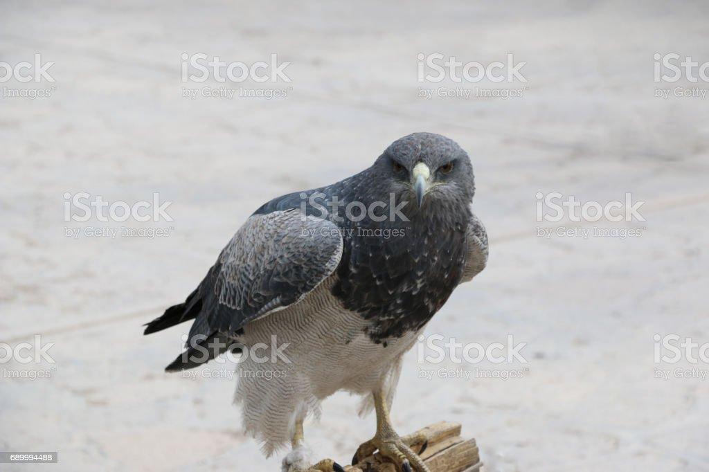Urubu-de-peito-preto-águia no mercado em Maca, Canyon de Colca, no Peru. - foto de acervo