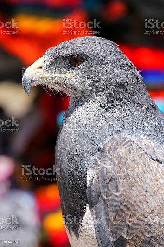 Black-chested buzzard-eagle at the market in Maca, Colca Canyon, - foto de acervo