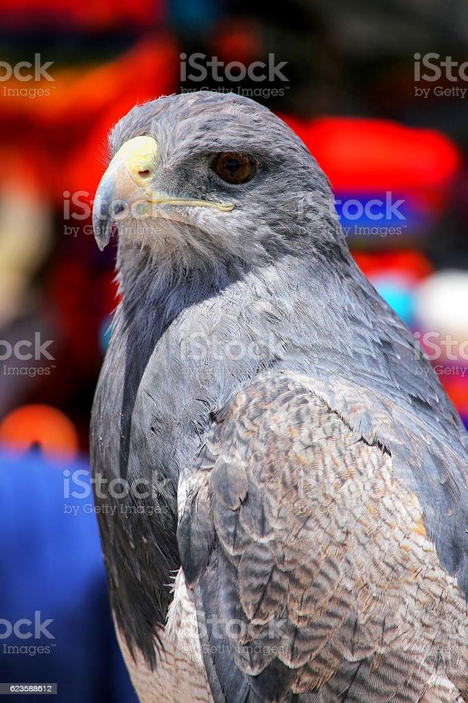 Black-peito-buzzard-eagle no mercado em Maca, o Colca Canyon, - foto de acervo