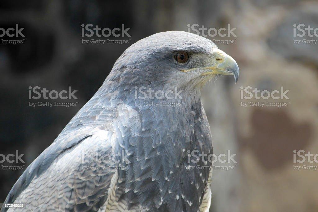 Urubu-de-peito-preto-águia, geranoaetus melanoleucus, perto de Otavalo, Equador - foto de acervo