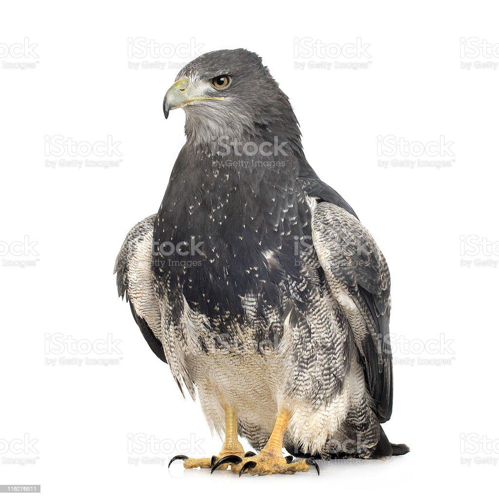 Black-peito-Buzzard-eagle-Geranoaetus melanoleucus - foto de acervo