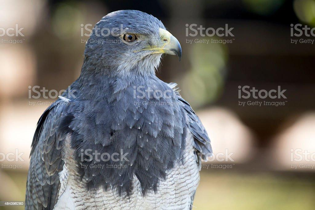 Black-chested buzzard-eagle stock photo
